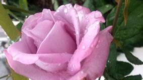 Lavender. Purple rose with raindrops stock image