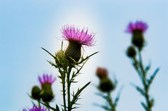 Lavender and Purple Thistle Bloom`s. Growing in the middle of a North American meadow are a group of beautiful purple or lavender blossom that will be guarded stock photography