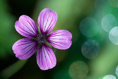 Lavender Purple Wild Geranium Flower Royalty Free Stock Photo