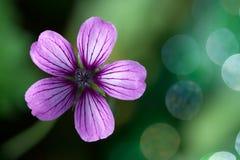 Lavender Purple Wild Geranium Flower. This showy, lavendar, five-petaled wild geranium is located at Meadowlark Botanical Gardens in Vienna VA.  The woodland Royalty Free Stock Photo