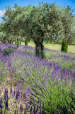 Lavender Raw in Provence, france Royalty Free Stock Images