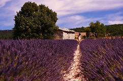 Lavender field, tree, an old barn and a woman Royalty Free Stock Images