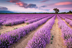 Lavender. Remarkable lavender field at sunset Royalty Free Stock Images