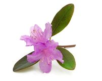 Lavender Rhododendron royalty free stock photography
