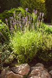 Lavender on rockery Royalty Free Stock Photos