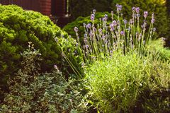 Lavender on rockery Royalty Free Stock Images