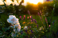 Lavender and rose flowers, home garden in backlight Stock Photos