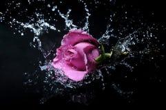 Lavender rose splash. Ing into the water Stock Photo