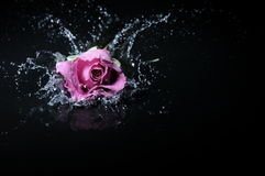 Lavender rose splash Royalty Free Stock Photo
