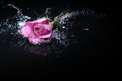 Lavender rose splash. Ing into water on isolated white background Stock Images