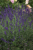 Lavender. With roses in the background. Recorded in Augsburg Royalty Free Stock Photos