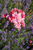 Lavender and roses in the garden Royalty Free Stock Images