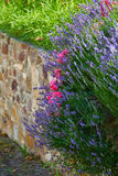 Lavender and roses on a garden wall Stock Image