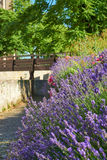 Lavender and roses on a garden wall Stock Photos