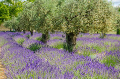 Lavender in a row and olive trees Royalty Free Stock Images