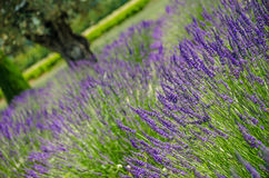 Lavender in a row and olive trees Royalty Free Stock Image