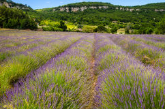 Lavender row in Provence, France Royalty Free Stock Photography