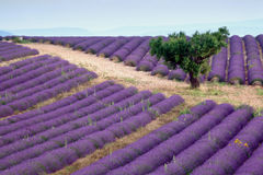 Lavender rows Royalty Free Stock Photography