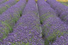 Lavender. Rows of deep purple English lavender plants in full flower Royalty Free Stock Image
