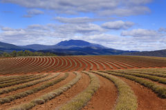 Lavender Rows Distant Mountain Stock Images