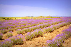 Lavender rows Stock Photography