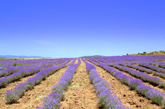 Lavender rows. Lavender flower blooming fields in endless rows, lavender farm in Sub-Balkan valley near Koprivshtitsa town,Bulgaria Stock Images