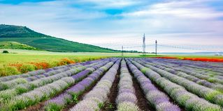 Lavender rows Royalty Free Stock Images