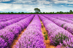 Lavender. Rows of sunny lavender field Royalty Free Stock Images