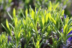 Lavender`s new leaves. Lavender leaves grow under warm sunshine royalty free stock photo