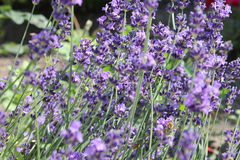 Lavender. Scent in the garden Stock Image