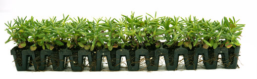 Lavender seedlings. In pots ready for planting Royalty Free Stock Photography
