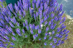 Lavender. Selective focus center front Royalty Free Stock Image
