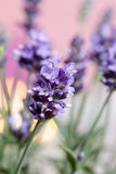 Lavender, selective focus Royalty Free Stock Image