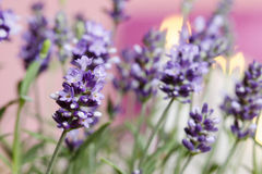 Lavender, selective focus Royalty Free Stock Photo