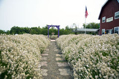 Lavender In Sequim 8. Port angeles Washington State USA Stock Photos