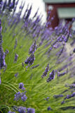 Lavender In Sequim 14 Royalty Free Stock Images