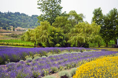 Lavender In Sequim 23 Royalty Free Stock Images
