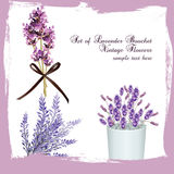 Lavender set bouquet collection. Vector. Gentle blossom floral bouquet. Vintage Label with lavender beautiful fragrance Stock Photography