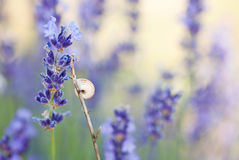 Lavender with shell Stock Photo
