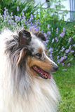 Lavender Sheltie. Sheltland Sheepdog in the garden with a patch of lavender in the background stock photography