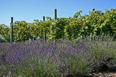 Lavender Shrubs and Grape Vines royalty free stock images