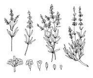 Lavender sketch vector set stock illustration