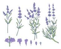 Lavender sketch vector set vector illustration