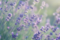 Lavender in soft light royalty free stock image