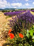 Lavender in south of France Stock Photo