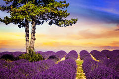 LAVENDER IN SOUTH OF FRANCE Stock Photos