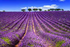 LAVENDER IN SOUTH OF FRANCE. Lavender field in Provence, near Sault, France Royalty Free Stock Photography