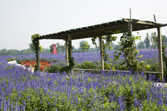 Lavender spends the sea,Shading wooden shed, Royalty Free Stock Photography