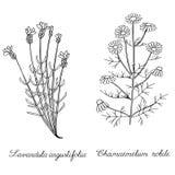 Lavender spicate chamomile άγριο χέρι που σύρεται Στοκ Εικόνες