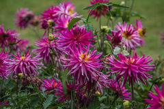 Lavender spider mums in Parisian park Royalty Free Stock Images